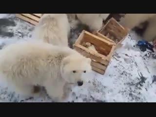 Новую Землю атакуют белые медведи