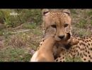 Суперхищники — Гепард - Документальные фильмы, передачи HD