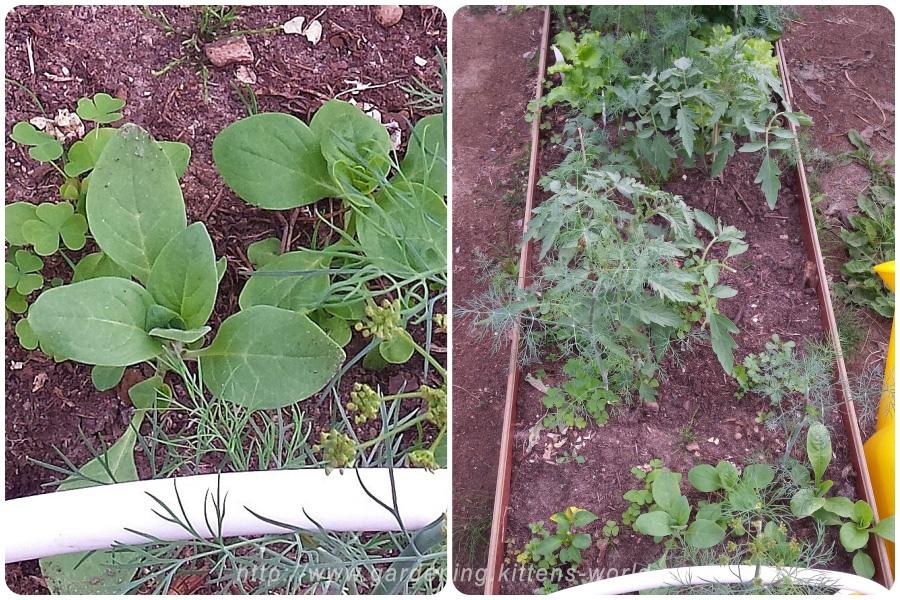 Мульчирование газетами в теплице-на фото петуния, укроп, салат, томат выросли сами