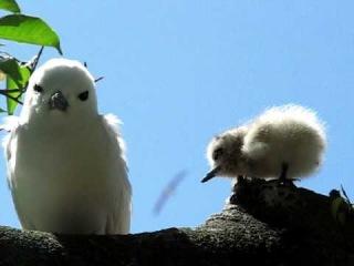 Белая крачка с птенцом