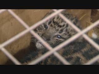 В Самарском зоопарке родились котята леопарда