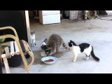 Sneaky raccoon steals food from cats