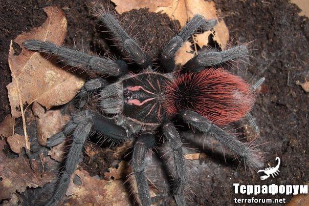 Pamphobeteus sp Affinis nigricolor