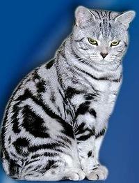 Британская кошка Особенности породы характер болезни