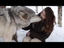 Огромный Волк Самый крупный вид