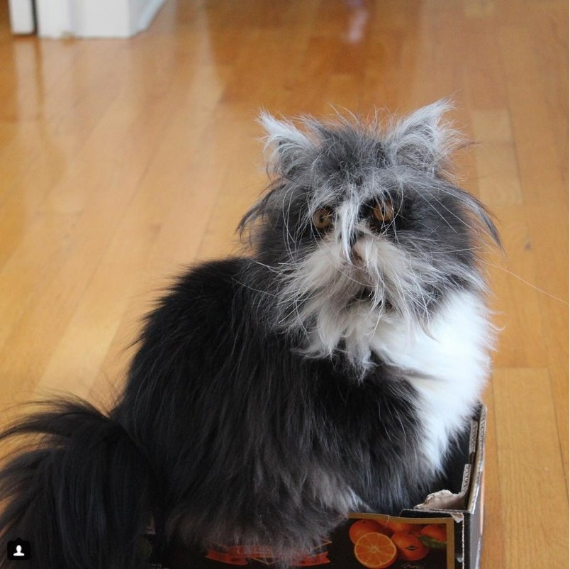 Кот из Канады по кличке Атчум