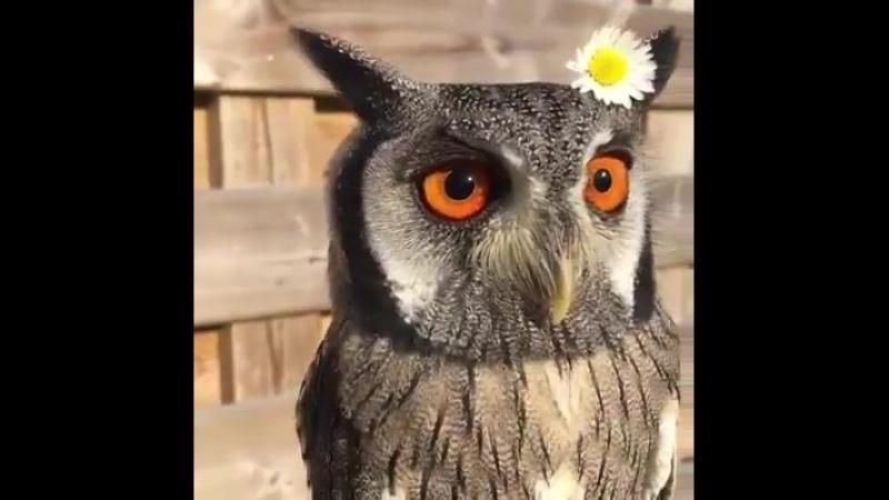 Восхитительная сова с цветком ромашки на голове / An adorable owl with chamomile flower on head