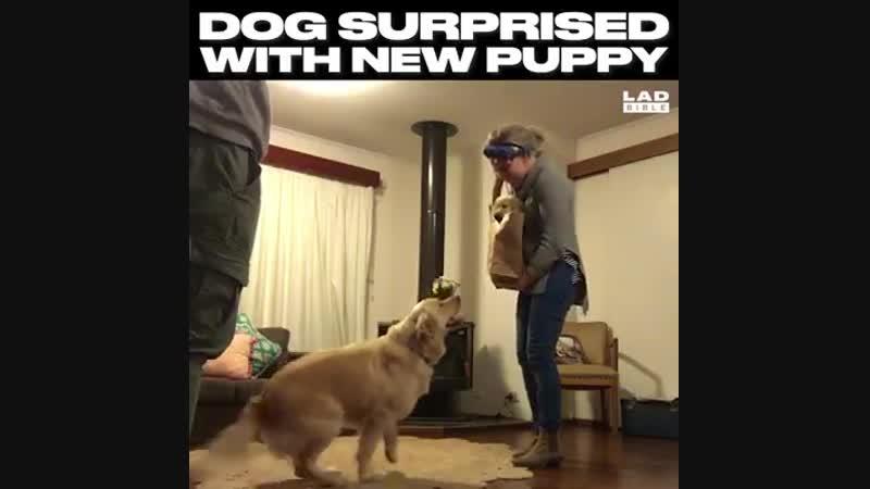 Реакция собаки, на то, что в дом взяли еще щенка!