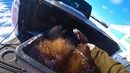 Охота 188 загонная на кабана с лайками