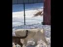 Собака и леопард