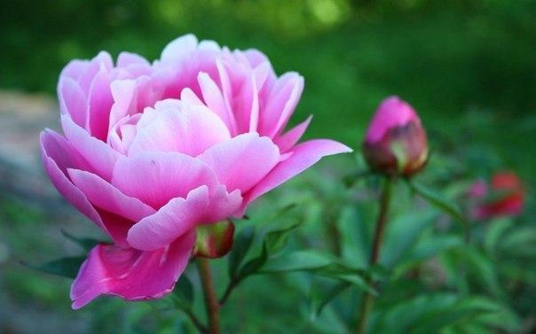 как правильно посадить пионы. пионы очень популярны у цветоводов. все благодаря огромному разнообразию расцветок, форм и сортов пиона. кусты пиона цветут очень долго, радуя нас почти 1,5 месяца.