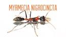 Colony Update - Myrmecia nigrocincta Bull Ants