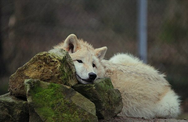Seehara, The Amber Wolf JMYDCRTsmRU