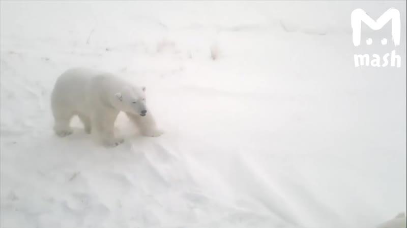 Белые мишки в Архангельской области всё бдлиже подходят к человеку