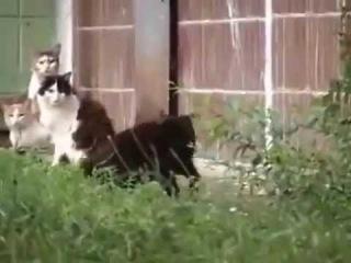 Гигантская крыса разгоняет стаю котов