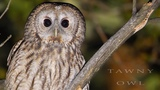 Tawny owl. Singing birds in the night forest. Strix aluco.