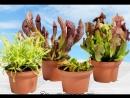 Коллекция растений от Интернет-магазина хищных растений