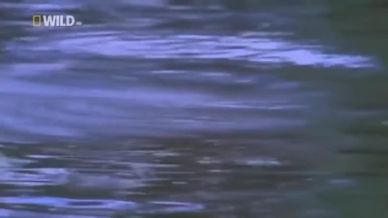 National Geographic Нильский крокодил Самый сильный Документальный фильм