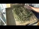 Заготавливаю семена мангольда