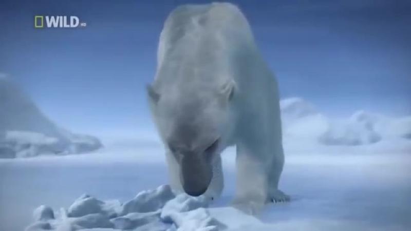 Суперхищники — Полярный медведь Документальные фильмы, передачи HD » Freewka.com - Смотреть онлайн в хорощем качестве