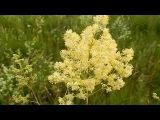 Василистник блестящий или рутвиця блискуча (вузьколистна), Thalictrum lucidum