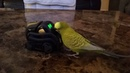 My parakeet Buddy fell in love with Vector by Anki