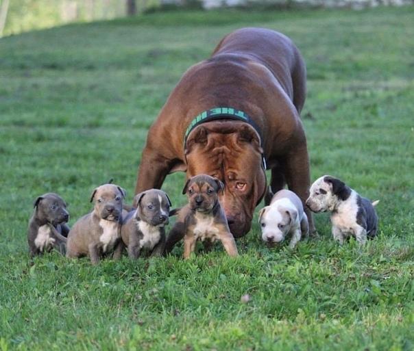 Халк, самый большой питбуль в мире, весом в 81 кг. Марлон и Лайза Греннан - профессиональные заводчики и по совместительству владельцы пса по имени Халк. Их компания Dar Dynasty 9s занимается