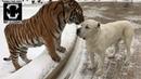 Tiger and Alabai dog compilation 1