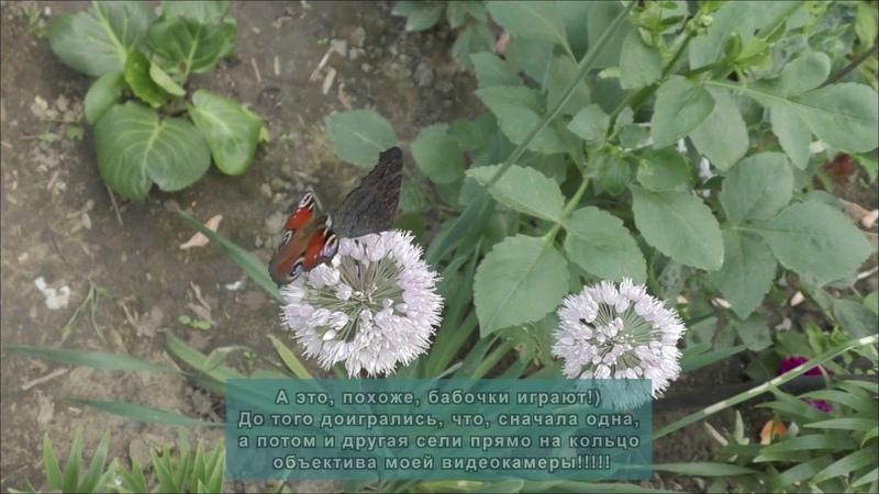 Доверчивые бабочки Сели прямо на кольцо объектива моей видеокамеры