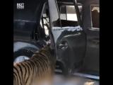 Прирученные тигры