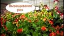 Выращивание роз в теплице. Бизнес идея на круглый год
