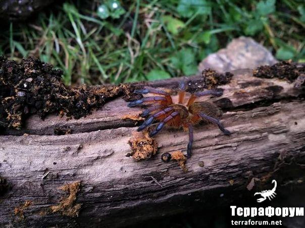 Harpactira pulchripes