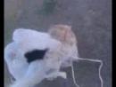 Бой собак