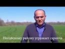 Саранча уничтожает сельское хозяйство Ногайского района