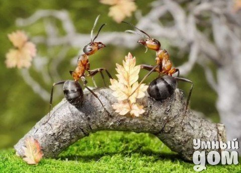 """КАК ИЗБАВИТЬСЯ ОТ МУРАВЬЕВ НА САДОВОМ УЧАСТКЕ Дачный участок может превратиться в настоящий кошмар. Достаточно завестись одному муравью - и на завтра там будет целое семейство. На первый взгляд такие безобидные, они мигом """"оседают"""" повсюду: на грядках, под землей, на растениях и овощах.Часто муравьи становятся для огородников настоящей головной болью. Кроме того, что насекомые любят лакомиться ягодками на участке, так еще и разносят семена сорняков. К тому же всем известно, где…"""