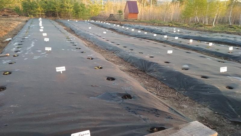 Подготовка грядки для клубники на целине. Укладка спанбонда. Высота грядки для клубники в Сибири.