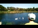 Лебеди попрошайничают