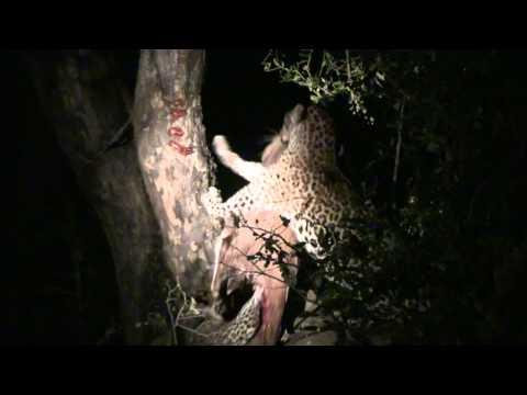 Incrível, Leopardo guardando a caça em cima da árvore!