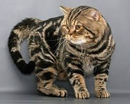 Питомник британских короткошерстных кошек YarCollection (WCF) предлагает котят различных окрасов.