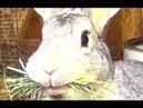 Беременная крольчиха готовит место для рождения крольчат