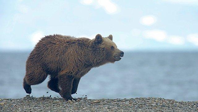 Медведь проломил забор на границе Латвии при попытке прорваться в Россию