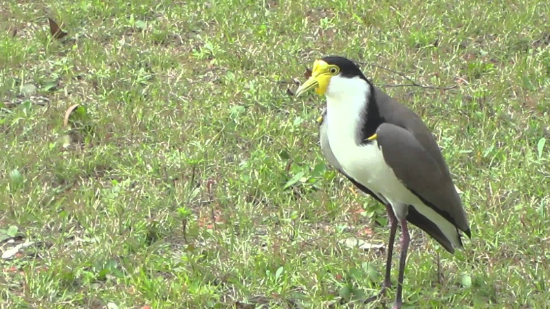 The Masked Lapwing Defending its Nest
