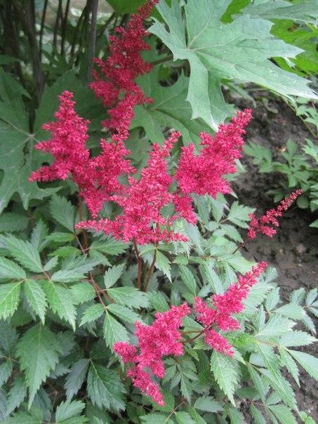 цветы в моём саду
