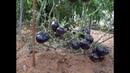300 сортов томатов сразу на одном участке