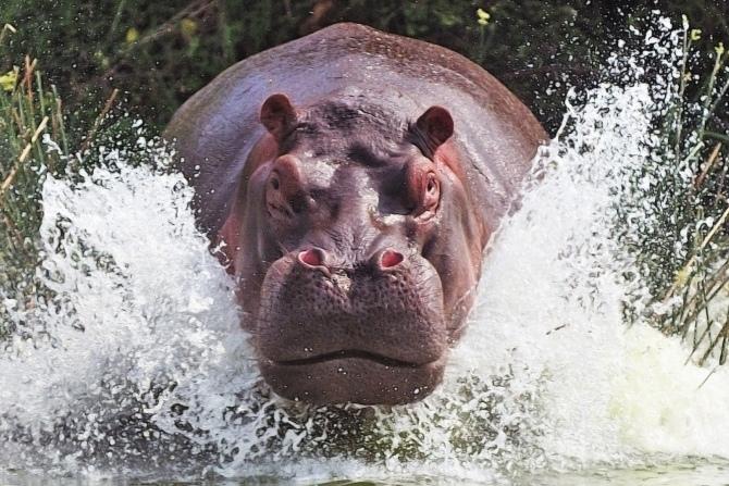 агрессивный гиппопотам выпрыгивает  из воды