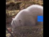polar bear cub UK
