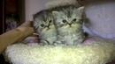 Шотландские красивые мраморные котята девочки
