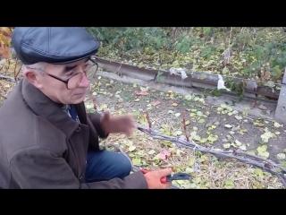 Осенняя обрезка кустов винограда с плохим вызреванием лозы