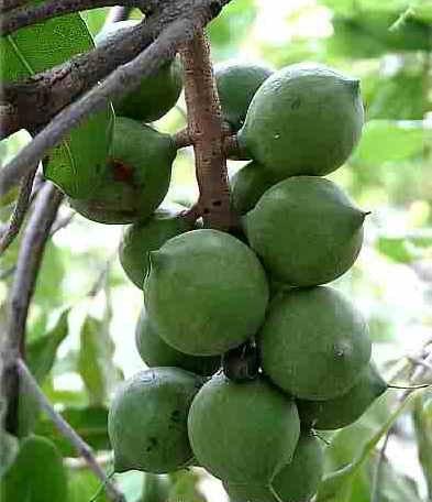 Базовое (жирное) масло макадамского ореха (100 мл).  Сертификаты на продукцию.