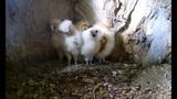 Robert E Fuller Baby Barn Owls Make Friends